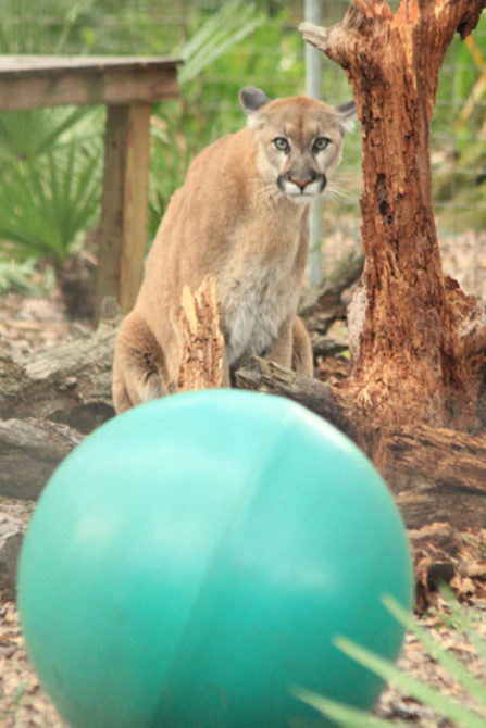 Cougars at Big Cat Rescue