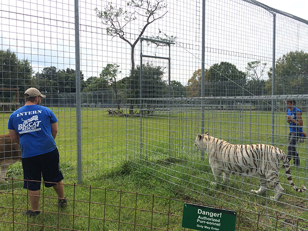 Vacation-Rotation-Zabu-white-tiger