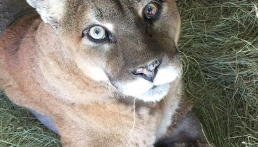 Sassyfrass-Cougar_2185
