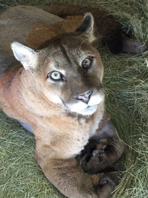 Sassyfrass Cougar