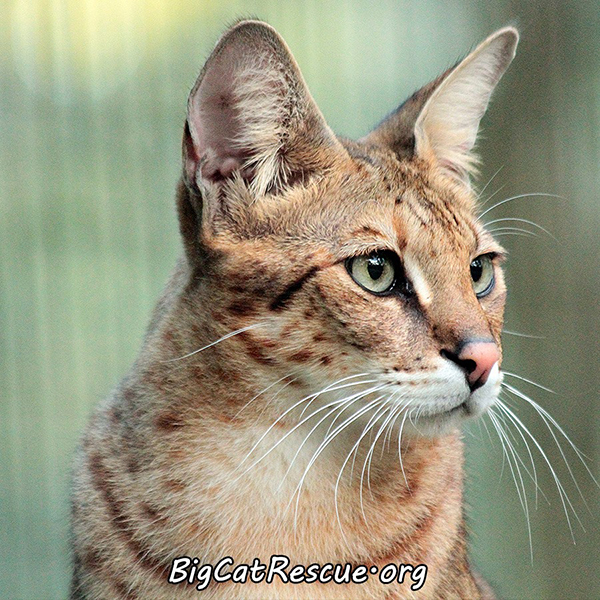 Diablo the Savannah Cat at Big Cat Rescue