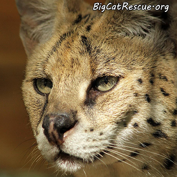 PurrSonality-Serval_1191570215382782568_n
