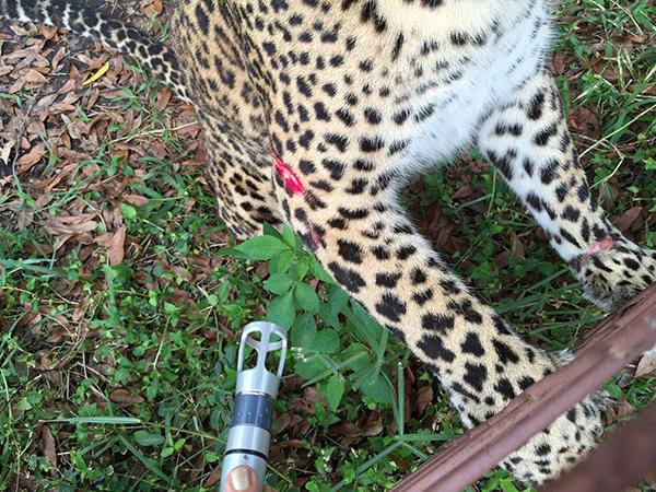 Vet-Jade-Leopard-2014-12-29 14.21.18
