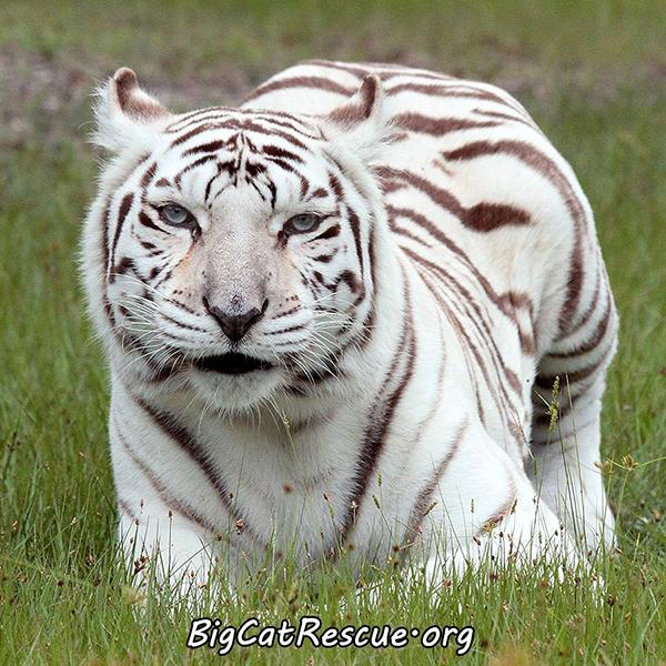 Zabu-White-Tiger