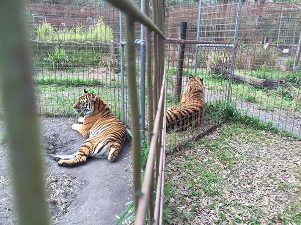 Keisha-Zeus-Tigers_3068