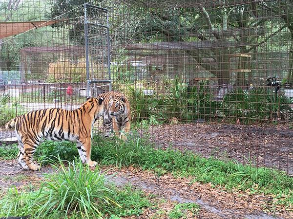 Keisha-Zeus-Tigers_3071