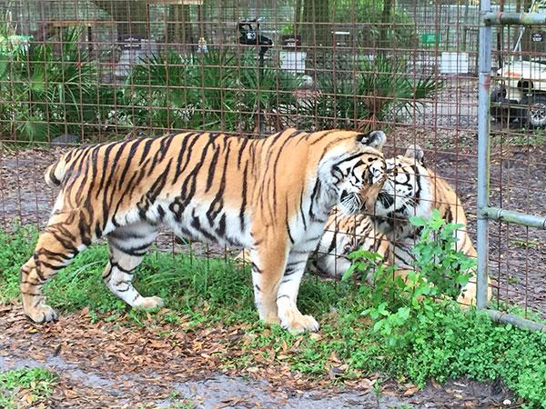 Keisha-Zeus-Tigers_3077