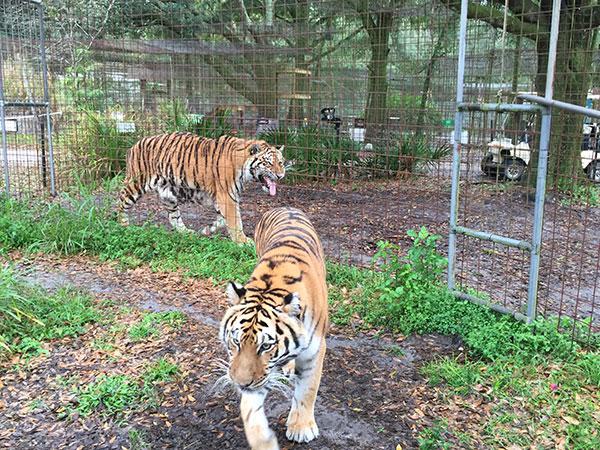 Keisha-Zeus-Tigers_3078