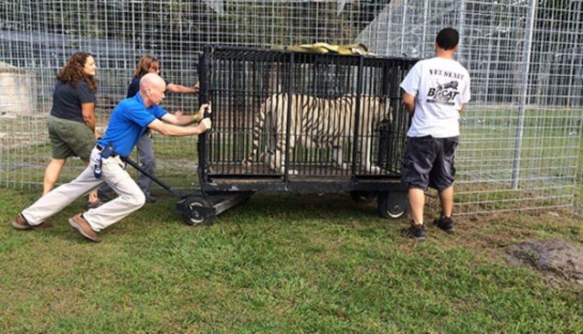Rescue transport for big cat