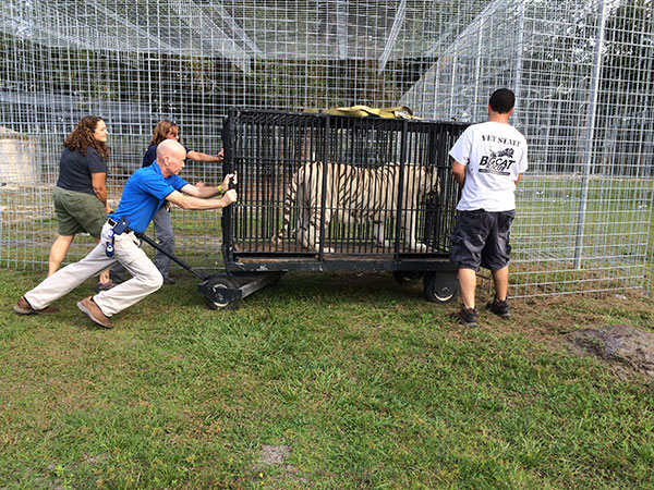Rescue transport for big cat