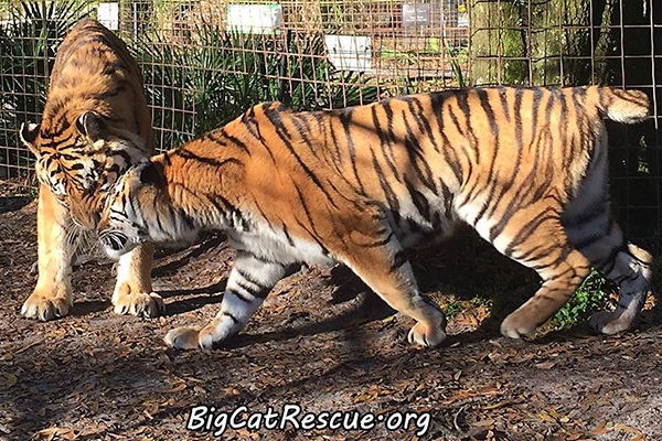 Zeus and Keisha Tigers