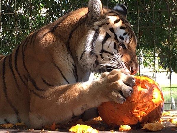 DBC-Pumpkins-Kali-Tiger-2014-11-28 13.06.12