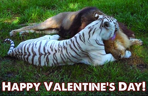 Valentines Day Liger
