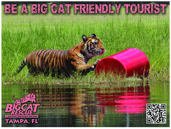 Big Cat Friendly Tourist