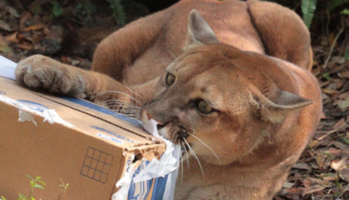 Aspen Echo Cougar