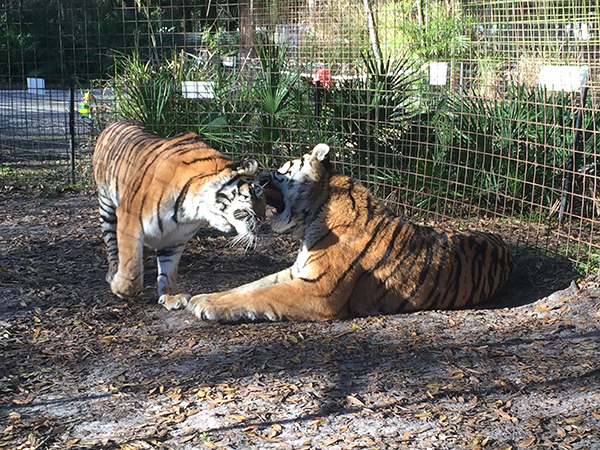 Valentines-Day-Keisha-Zeus-tigers_3473