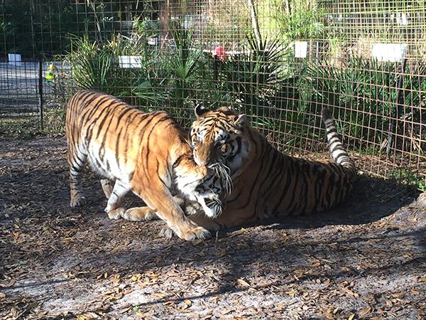 Valentines-Day-Keisha-Zeus-tigers_3474