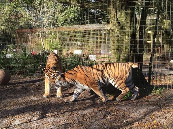 Valentines-Day-Keisha-Zeus-tigers_3479
