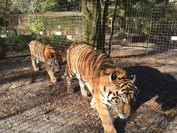 Valentines-Day-Keisha-Zeus-tigers_3482