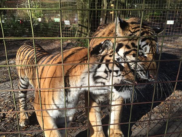 Valentines-Day-Keisha-Zeus-tigers_3485