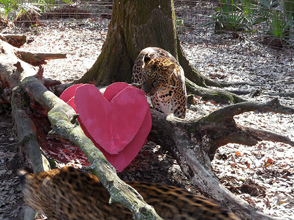 Valentines-Day-leopards_0363