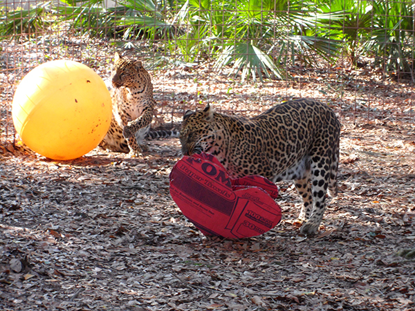 Valentines-Day-leopards_0381