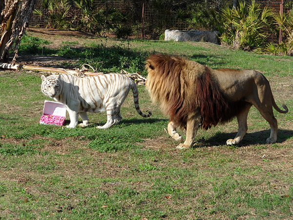 Valentines-Day-white-liger_0390