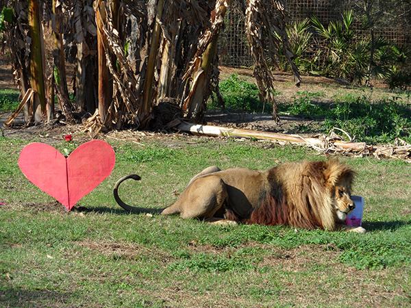Valentines-Day-white-liger_0394