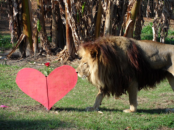 Valentines-Day-white-liger_0399