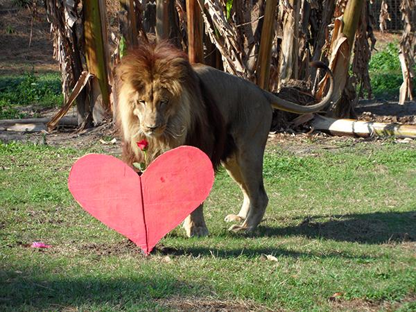 Valentines-Day-white-liger_0400