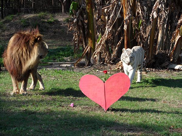 Valentines-Day-white-liger_0404