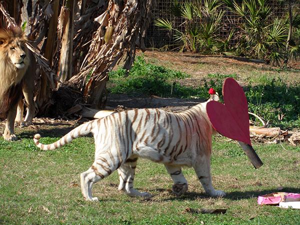 Valentines-Day-white-liger_0408