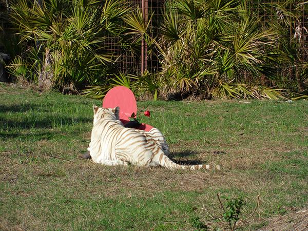 Valentines-Day-white-tiger_0411