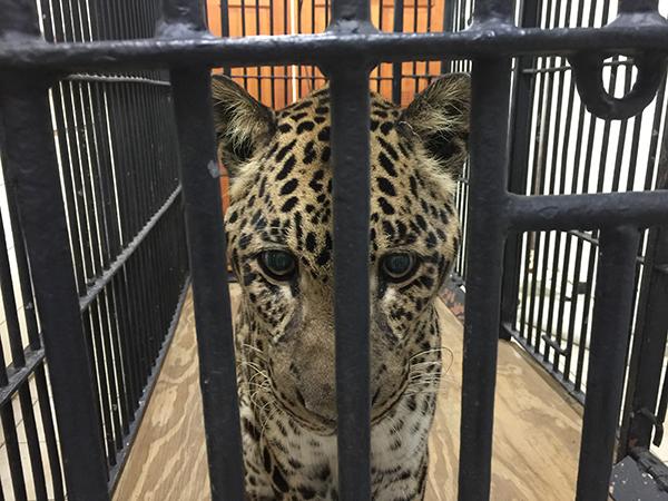 Vet-Reno-Leopard-2015-02-20 09.45.28