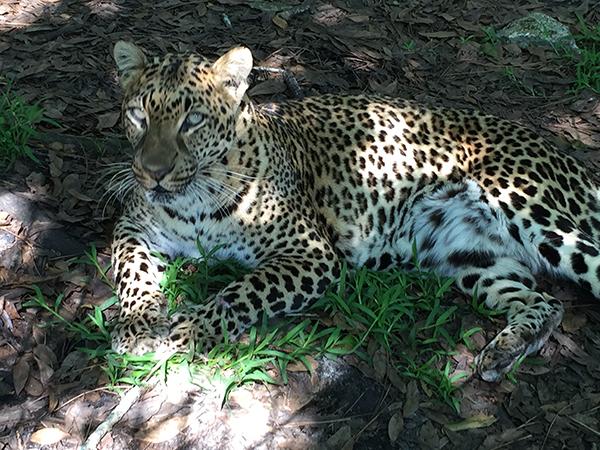 Puzzle Box Jade Leopard