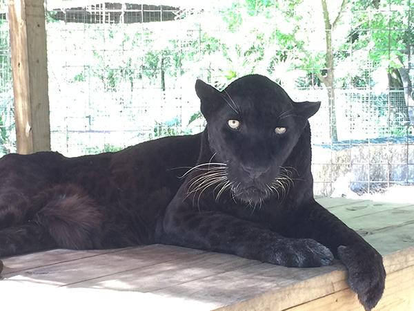 A Black Leopard Named Spirit