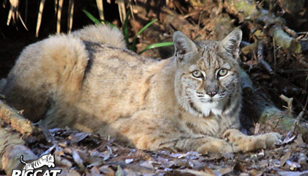 Alexander Bobcat