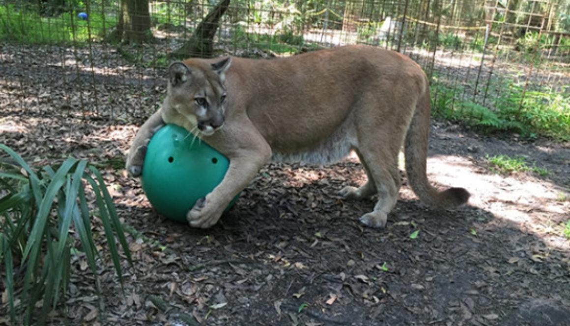 Ares-Cougar-Ball
