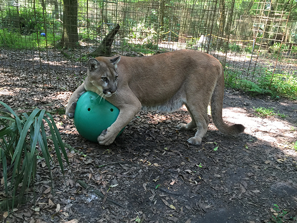 Now at Big Cat Rescue March 21 2015