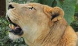 Cameron Lion