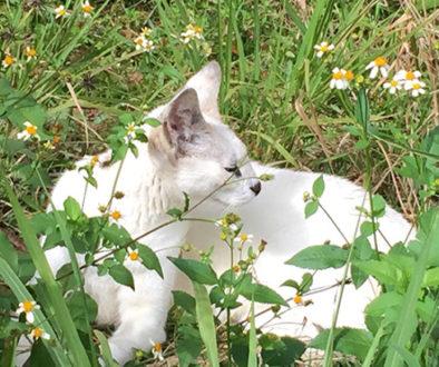 Pharaoh the white serval