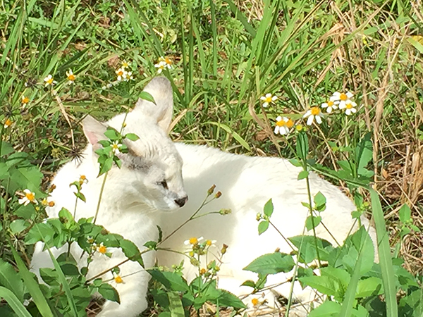 Pharaoh the white serval