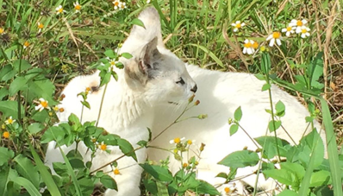 White serval smells flowers