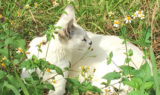 White serval smells flowers