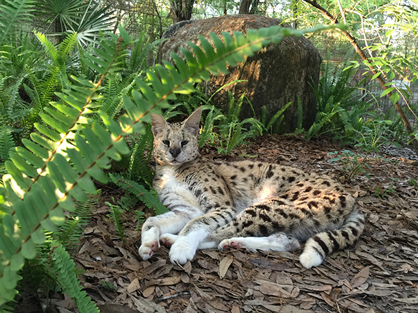 Frosty the white footed serval