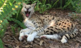 Frosty-white-serval-