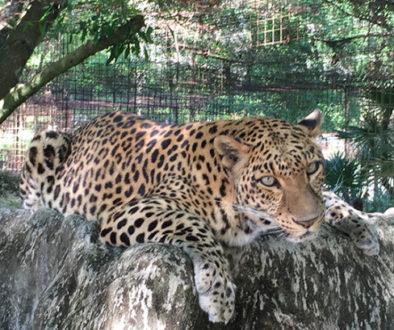 Sundari-Leopard-2015