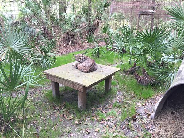 Siera Bobcat