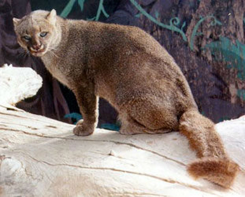 Jaguarundi Facts Big Cat Rescue