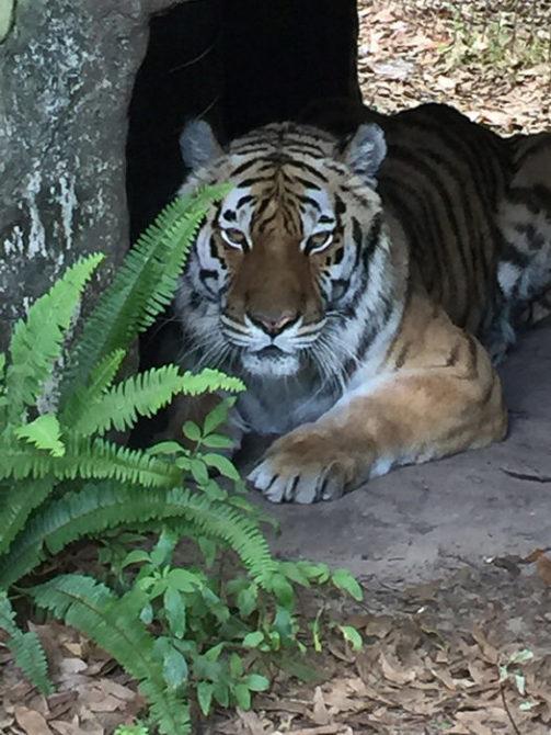 Kali-Tiger-2015